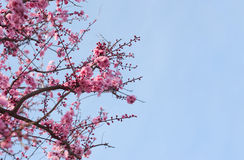 Cherry blossoms with copy space on right Royalty Free Stock Image