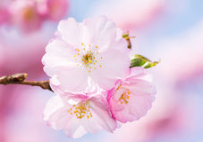 Cherry Blossoms cor-de-rosa Foto de Stock Royalty Free