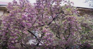 Cherry Blossoms cor-de-rosa Florescência da flor de cerejeira japonesa em Uzhgorod, Ucrânia video estoque