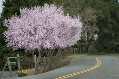 Cherry blossoms country road Royalty Free Stock Photos