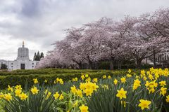 Cherry Blossoms and Daffodils, Salem Oregon Stock Images