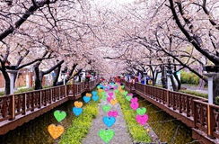 Cherry blossoms at day busan city in korea Royalty Free Stock Image
