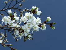 Cherry blossoms of DC Royalty Free Stock Photography