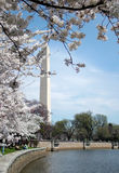 Cherry Blossoms in DC Royalty Free Stock Photo
