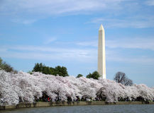 Cherry Blossoms in DC stock images
