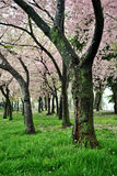 Cherry Blossoms in DC Stock Photography