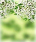 Cherry Blossoms De lente in de boomgaard Stock Fotografie