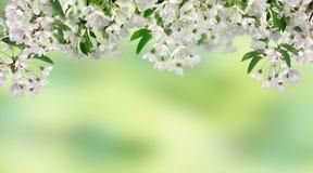 Cherry Blossoms De lente in de boomgaard Stock Afbeeldingen