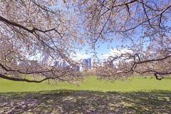 Cherry Blossoms, der im Frühjahr blüht Stockbild