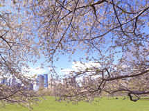 Cherry Blossoms, der im Frühjahr blüht Stockfotos