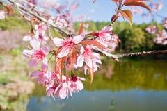 Cherry Blossoms in der Natur lizenzfreie stockbilder