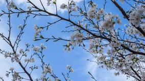 Cherry Blossoms die de hemel bereiken Stock Afbeelding