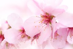 Cherry blossoms dream stock photography