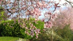 Cherry Blossoms e cielo blu Fotografia Stock
