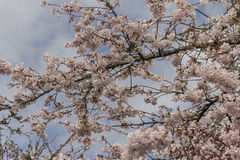 Cherry blossoms in early spring. Stock Photography