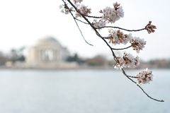 Cherry Blossoms em D C foto de stock