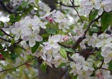 Cherry Blossoms em um dia de verão morno fotografia de stock