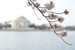 Cherry Blossoms en D C Foto de archivo