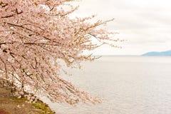 Cherry Blossoms en Shiga, Japón Imagenes de archivo