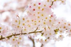 Cherry Blossoms en Shiga, Japón Imagen de archivo