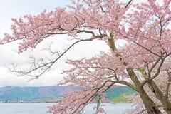 Cherry Blossoms en Shiga, Japón Imágenes de archivo libres de regalías