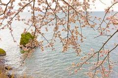 Cherry Blossoms en Shiga, Japón Fotos de archivo