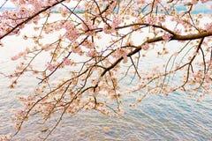 Cherry Blossoms en Shiga, Japón Fotografía de archivo