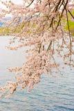 Cherry Blossoms en Shiga, Japón Foto de archivo