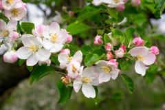 Cherry Blossoms en un cielo azul Fondo floral del resorte Flores de la cereza que florecen en la primavera fotografía de archivo