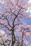 Cherry Blossoms et nuages photographie stock