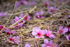 Cherry blossoms fall on the ground. Royalty Free Stock Photos