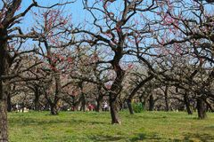 Cherry Blossoms are Famous flower in japan Royalty Free Stock Image
