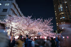 Cherry Blossoms Festival Stockfotos