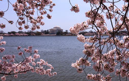 Cherry Blossoms Jefferson Washington DC stock images