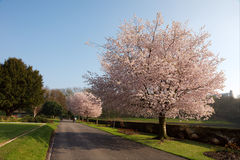 Cherry Blossoms: The First signs of Spring Royalty Free Stock Image