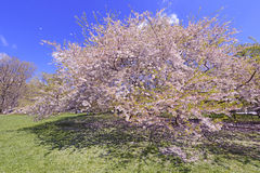 Cherry Blossoms flowering in Springtime Stock Photo