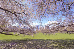 Cherry Blossoms flowering in Springtime Stock Image