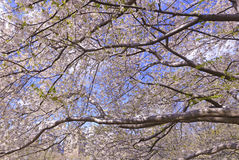 Cherry Blossoms flowering in Springtime Stock Images