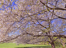 Cherry Blossoms flowering in Springtime Stock Photos
