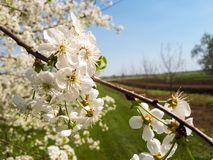 Cherry blossoms. Flowers of cherry blossoms stock image