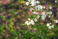 Cherry blossoms and flowers in April or May stock photos