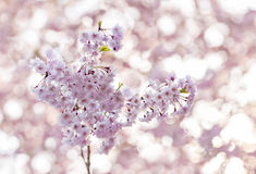 Cherry blossoms. Royalty Free Stock Image