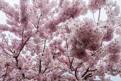 Cherry Blossoms 2 - fondo Fotografia Stock
