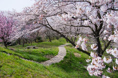 Cherry blossoms and a footpath. In Kagawa, Japan Royalty Free Stock Photography