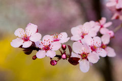 Cherry blossoms with forsythia. Blooming pink cherry blossoms stand out against forsythia in the background Royalty Free Stock Photos