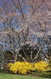 Cherry blossoms and forsythia bush Royalty Free Stock Photos