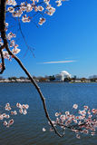 Cherry Blossoms Frame Jefferson Memorial en Washington DC Imagen de archivo
