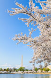 Cherry Blossoms Framing The Washington-Monument Stock Afbeelding