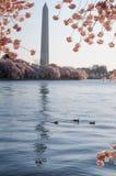 Cherry Blossoms Framing The Washington Monument Stock Photos