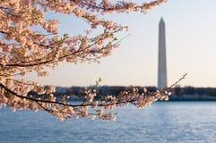 Cherry Blossoms Framing The Washington Monument Royalty Free Stock Photos